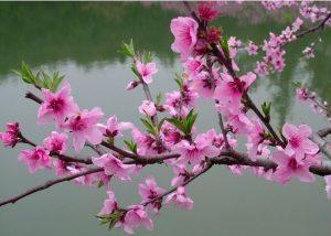 fiori-pesco_NG12
